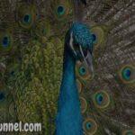 About Peacock in Hindi | राष्ट्रीय पक्षी मोर के बारे में [ रोचक तथ्य ]