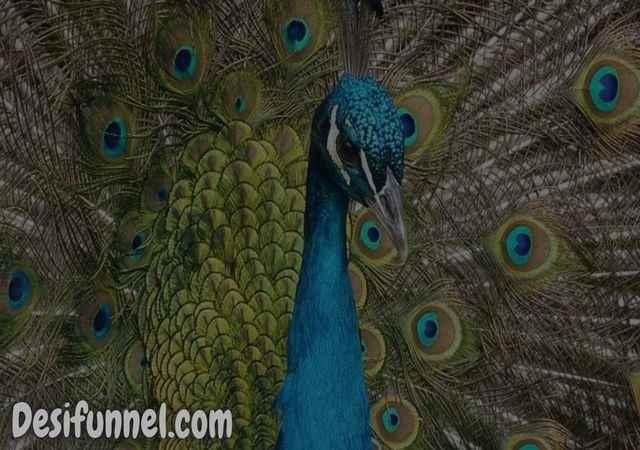 About Peacock in Hindi राष्ट्रीय पक्षी मोर के बारे में [ रोचक तथ्य ]
