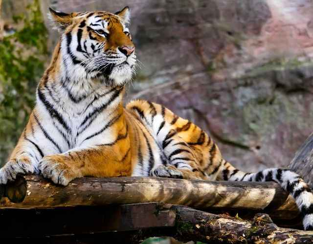 Interesting facts about Tiger in Hindi